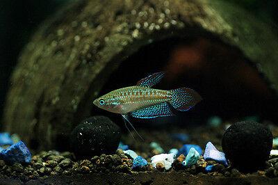 SPARKLING PYGMY GOURAMI  ** COMMUNITY FISH ** Trichopsis pumilis 2cm