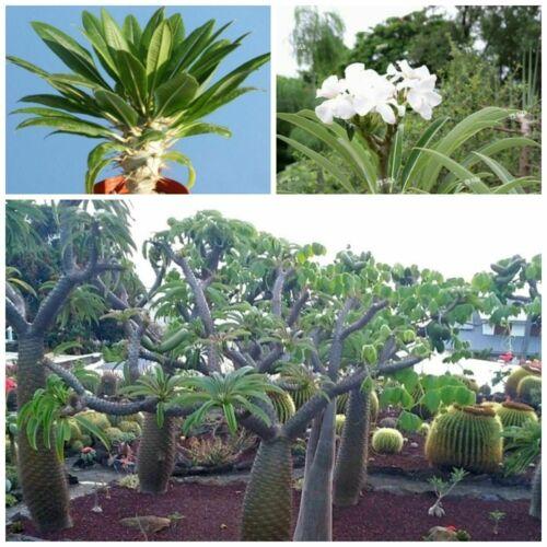 10 Samen der Pachypodium lamerei var seed succulents G ramosum