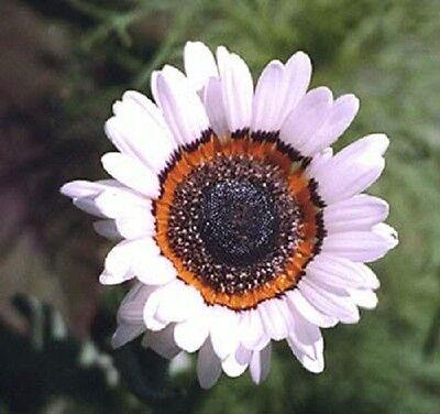 50 WHITE ZULU PRINCE CAPE DAISY Venidium Flower Seeds + Gift & Comb S/H
