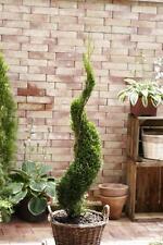 Bonsai Formschnitt Thuja Smaragd Spirale 50-60cm 2l topfgewachsen, Bestseller