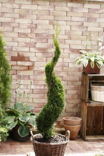 best-seller Bonsai formschnitt thuja Emeraude spirale 50-60cm 2l topfgewachsen