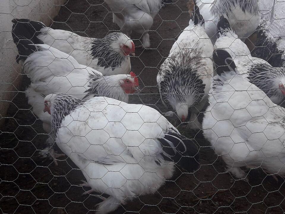 Høne, 2 stk.