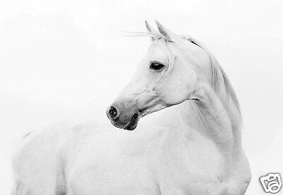 Beautiful White Horse Profile Quality Canvas Art Print Ebay