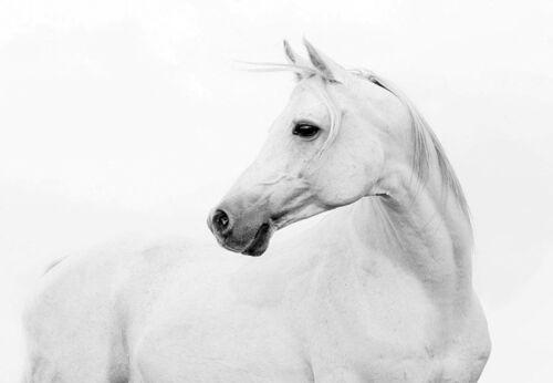 LARGE A3 SiZE QUALITY CANVAS ART PRINT BEAUTIFUL WHITE HORSE PROFILE