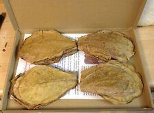 ca.100 Stück Seemandelbaumblätter 10-15cm (=100 Gramm) Terminalia Catappa Leaves