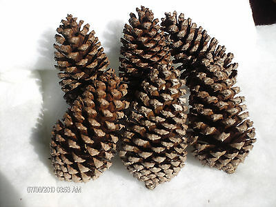 10 large Pine Cones 5-6 inch for Crafts Holiday decoration Wreaths Centerpieces