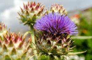 Pour le jardin: la BELLE-MARIE DISTEL-un remède