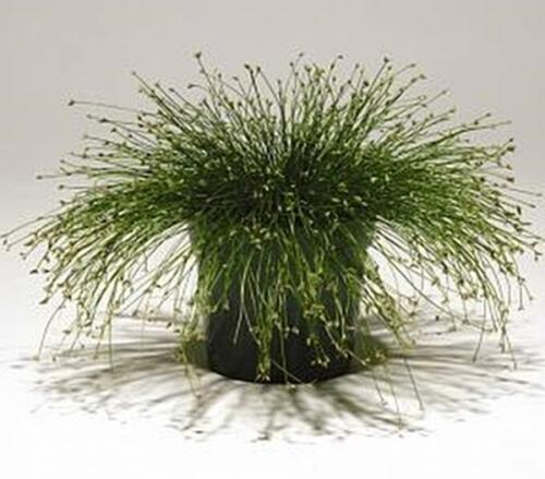 Isolepis Live Wire Msp Seeds Ornamental Grass Seed