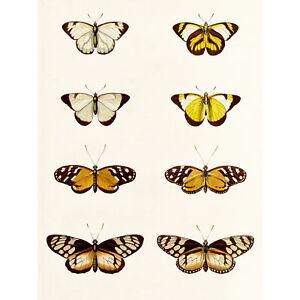 Nature-Study-Humboldt-Butterflies-Light-Large-Wall-Art-Print-18X24-In