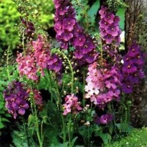 Verbascum-Hybrid-Mix-100-Seeds-BOGO-50-off-SALE