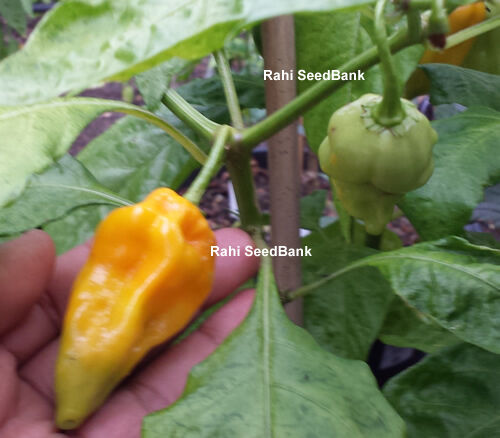 5 Seeds An Exceptionally Hot Chilli from the Republic of Suriname Aji Umba