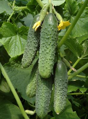Cucumber Seed 20PCS Seeds Cucumbers Cuke Cucumis Sativus Organic Bulk Seeds