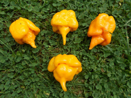 Trinidad Scorpion Butch T Gelb Yellow 5 Samen Über 1.500.000 Scov. Chili