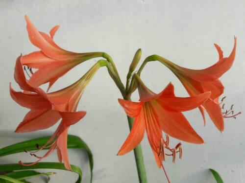 3 bulbes Amaryllis Roseum