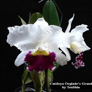 TS1020-132-Cattleya-Orglade-039-s-Grand-Bare-Root-T39