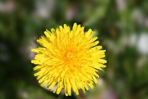 Loewenzahn-Taraxacum-officinale-2-500-Samen-Bienen-Hummelweide-Pusteblume