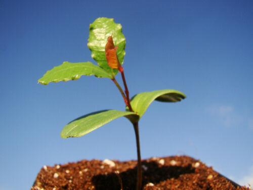 esotico carruba Albero EVERGREEN Ceratonia siliqua albero da frutto St Johns PANE