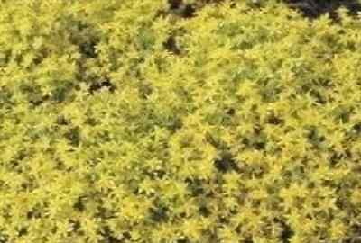 Flower - Sedum Acre - Common Stonecrop  - 200 Seeds