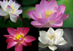 5-20-Samen-Nelumbo-nucifera-Echte-indische-Lotusblume-Lotus-MIX