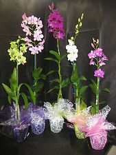 BIN-5 Blooming/Budded Dendrobium Orchid Plant- Long lasting- A gift of Aloha!