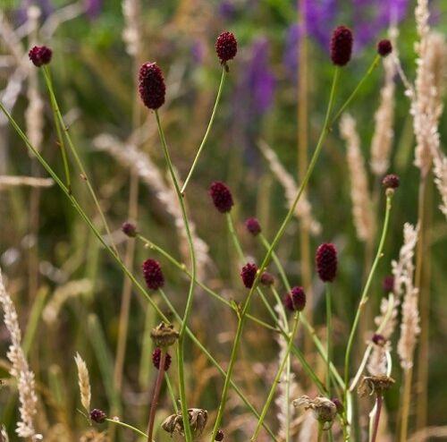 100 Seeds Wildflower Seeds Great Burnet