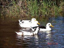 12+ Ancona Duck Hatching Eggs