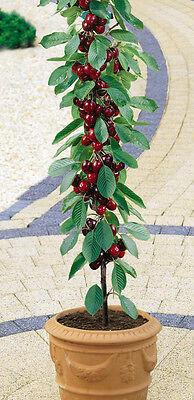 Cherry Tree Seeds ★ STANDARD ★ Miniature Fruit Tree ★PRUNUS★ GMO FREE ★ 10 Seeds