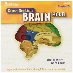 Learning Resources Crosssection Brain Model , New, Free Shipping