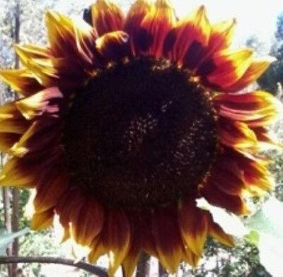 SUNFLOWER 'Velvet' 10 seeds flower seeds garden BOONDIE SEEDS boondle seeds RARE