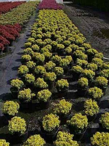 15-20 Gelbe Zwergberberitze R Berberis thunbergii Tiny Gold