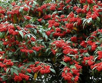 COLLECTION ONLY COTONEASTER CORNUBIA EVERGREEN RED BERRY TREES 6-7ft tall now