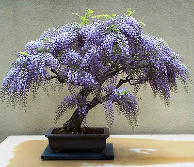 Tree Wisteria (Bolusanthus speciosus) - Feature or Bonsai - 30 Seeds