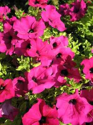 200 Pink Laura Bush Petunia Violacea Perennial Frilled Trumpet