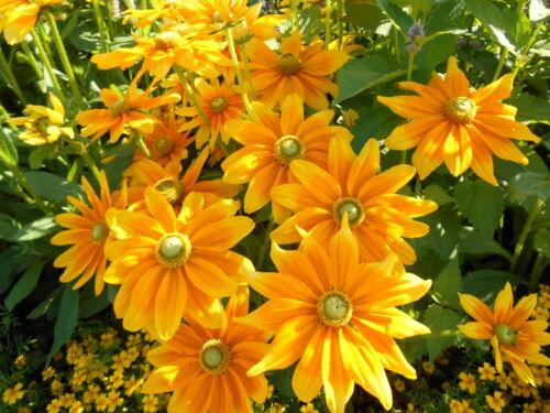 Sonnenhut gelb green Eyes Sonnenhut rudbeckia hirta Samen Blumen Rarität
