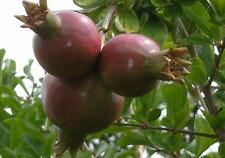 20 graines de GRENADIER (Punica granatum)POMEGRANATE SEEDS SAMEN SEMILLAS