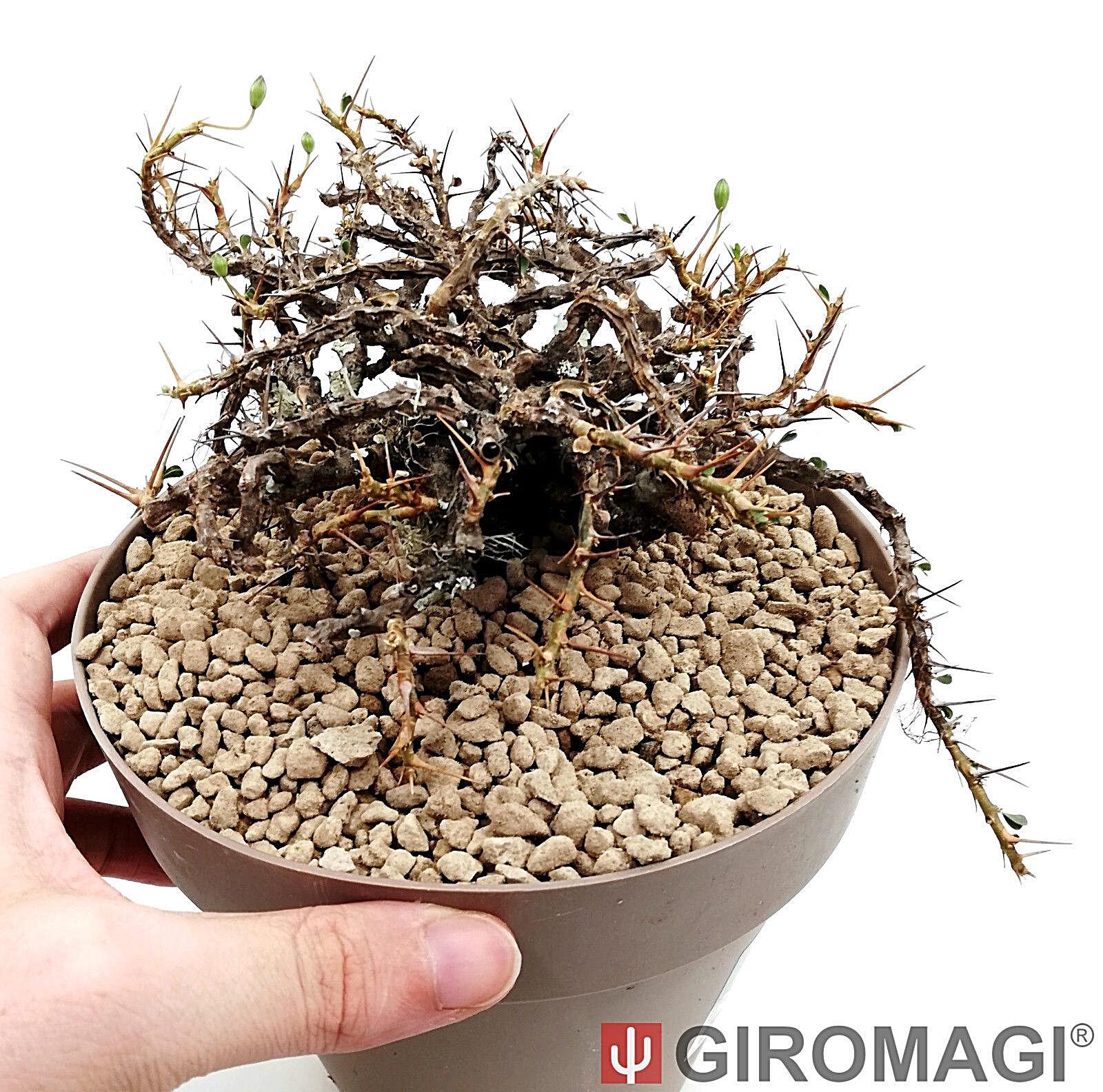 Sarcocaulon vanderietiae Ø18cm-giromagi Cactus & Suculentas Plantas