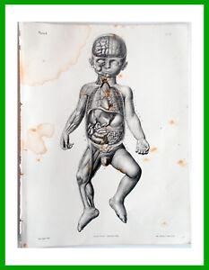 1844-incisione-Litho-Anatomia-Anatomie-Bourgery-Paris-Foetus-Feto-a-termine-11