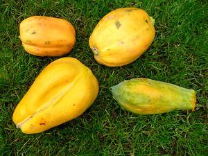 Fougueux Papaya - 4 Variétés De Mélange-carica Papaya Graines De Poivre De Rechange, Ma Douce Fruits-afficher Le Titre D'origine