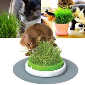100-600Pcs-Cat-Grass-Seeds-Home-Garden-Perennial-Plants-Herb-Bonsai-Cosy