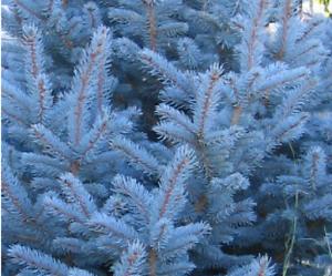 ABETO AZUL  Picea  pugens glauca  50 Semillas Seeds Samen Graines