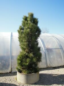 Pinus-nigra-Pyramidalis-Saeulenschwarzkiefer-70-80cm