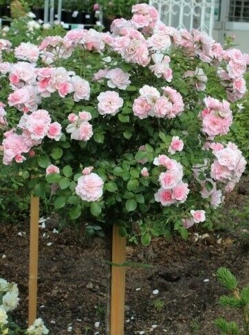 Pink Rose Tree Bare roots or 5.6l potted Bonica® Standard Rose 1.1-1.3m tall