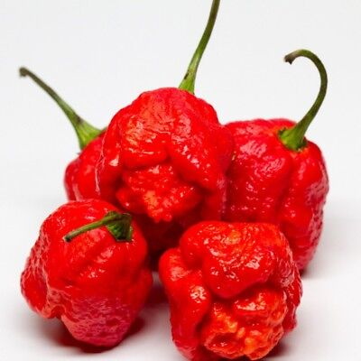 Trinidad 7 Pot Primo Red Hot Chili Pepper Seeds 25 PCS EXCEPTIONALLY HOT PEPPER!