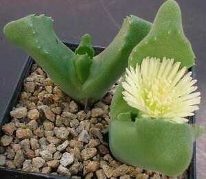 Rare Cactus Samen Korn Graine Semi 種子 씨앗 Семена Graft Cereus Jamacaru 10 SEEDS