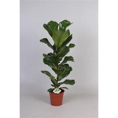 Ficus Lyrata House Plant in a 17cm Pot.  65cm tall.  V. Rare. Fiddle Fig