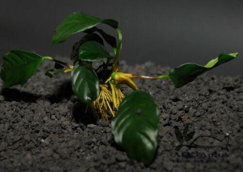 Freshwater Aquatic Live Plants ANUBIAS BARTERI WRINKLED LEAVE ONE Plant