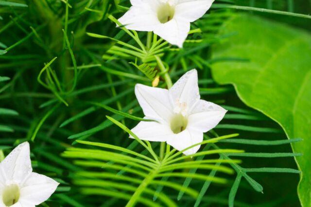 100 Seeds Outsidepride Cypress Vine White