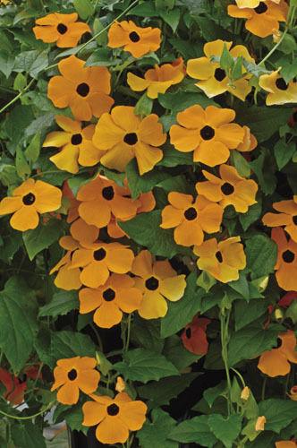 Fleur-Thunbergia Susie-Orange Black Eyed 50 graines de grand pack