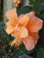 "2 DOUBLE ORANGE - PEACH HIBISCUS WELL ROOTED LIVE STARTER PLANT 4 TO 5"" TALL"