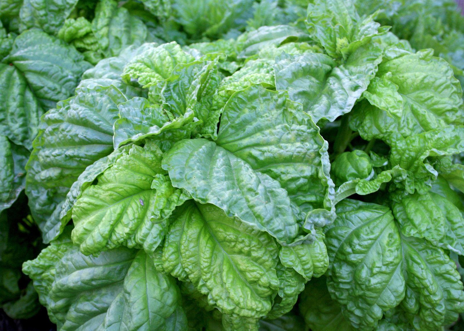 Lettuce-leaved basil - Lettuce leaf - 20+ seeds - HUGE & FRAGRANT!